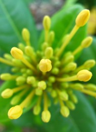 Yellow Flower Buds