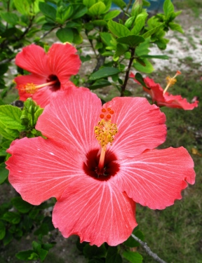 bahamas, abaco, green turtle cay, new plymouth, hibiscus, tropical flower
