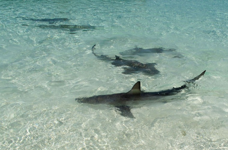 bahamas, abaco, green turtle cay, new plymouth, shark, lincoln jones, munjack cay