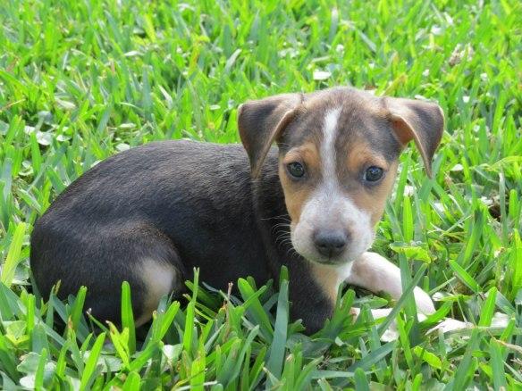 Bahamian Potcake, Dog, Bahamas