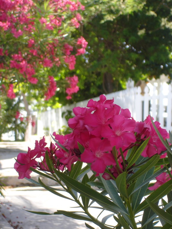 bahamas, abaco, hope town, elbowy cay, oleander