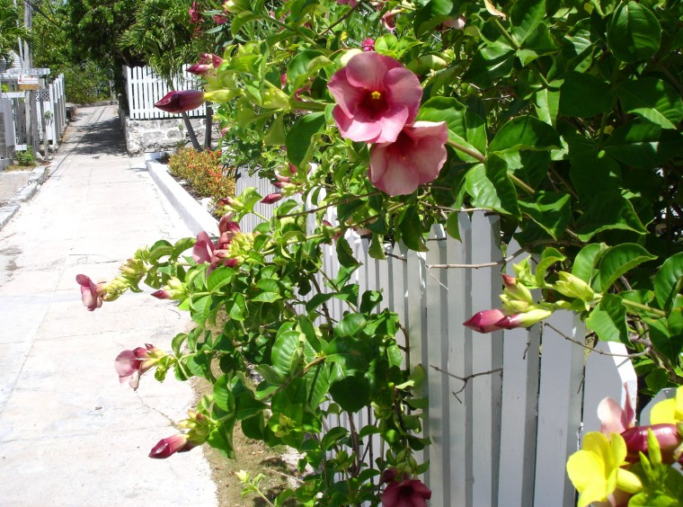 Allamanda bushes in Hope Town, Abaco, Bahamas.