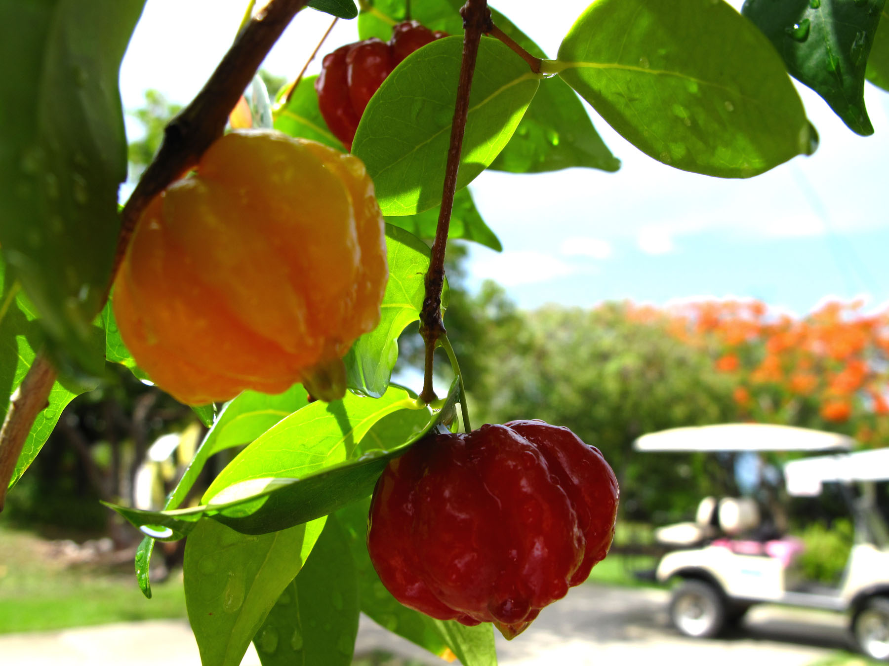 bahamas, abaco, green turtle cay, barbados cherry