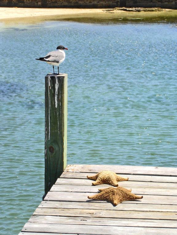 seagull, starfish, abaco, bahamas, gren turtle cay