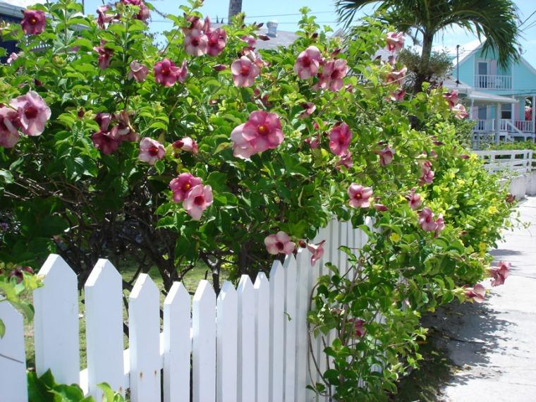 Purple Allamanda, Hope Town, Abaco, Bahamas