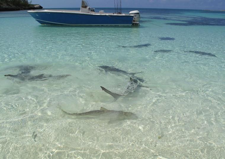 Young sharks at Lincoln Park, north end of Munjack Cay, Bahamas.