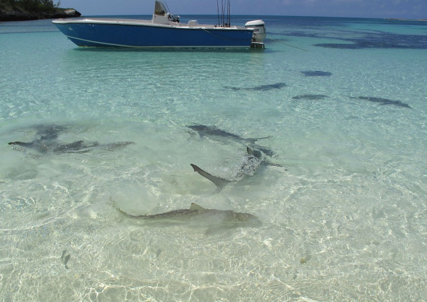 Young sharks at Lincoln Park, north end of Munjack Cay, Bahamas.