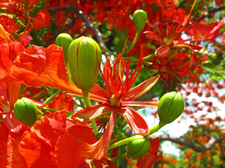 Poinciana Blooms - Green Turtle Cay, Abaco, Bahamas