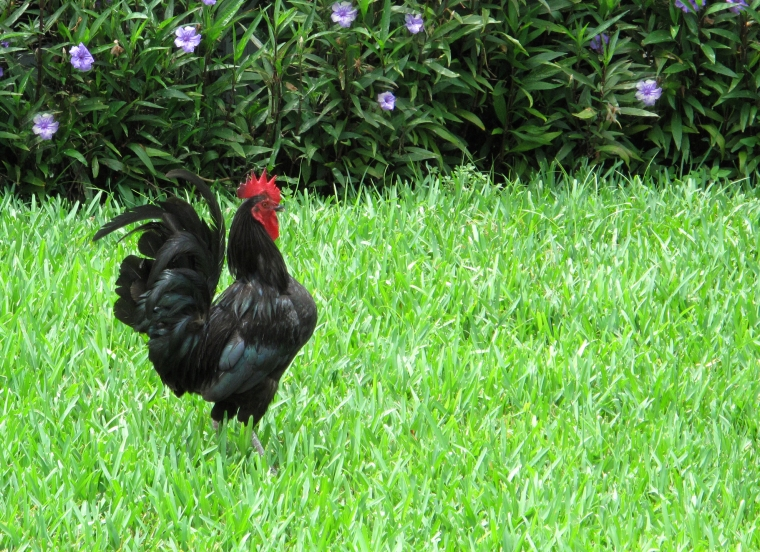 bahamas, abaco, green turtle cay, chicken