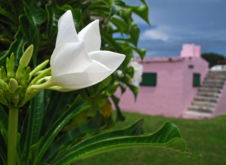 bahamas, abaco, green turtle cay, new plymouth, tropical flower, bridal bouquet