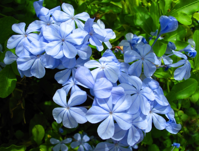 Plumbago flowers - Green Turtle Cay, Bahamas.