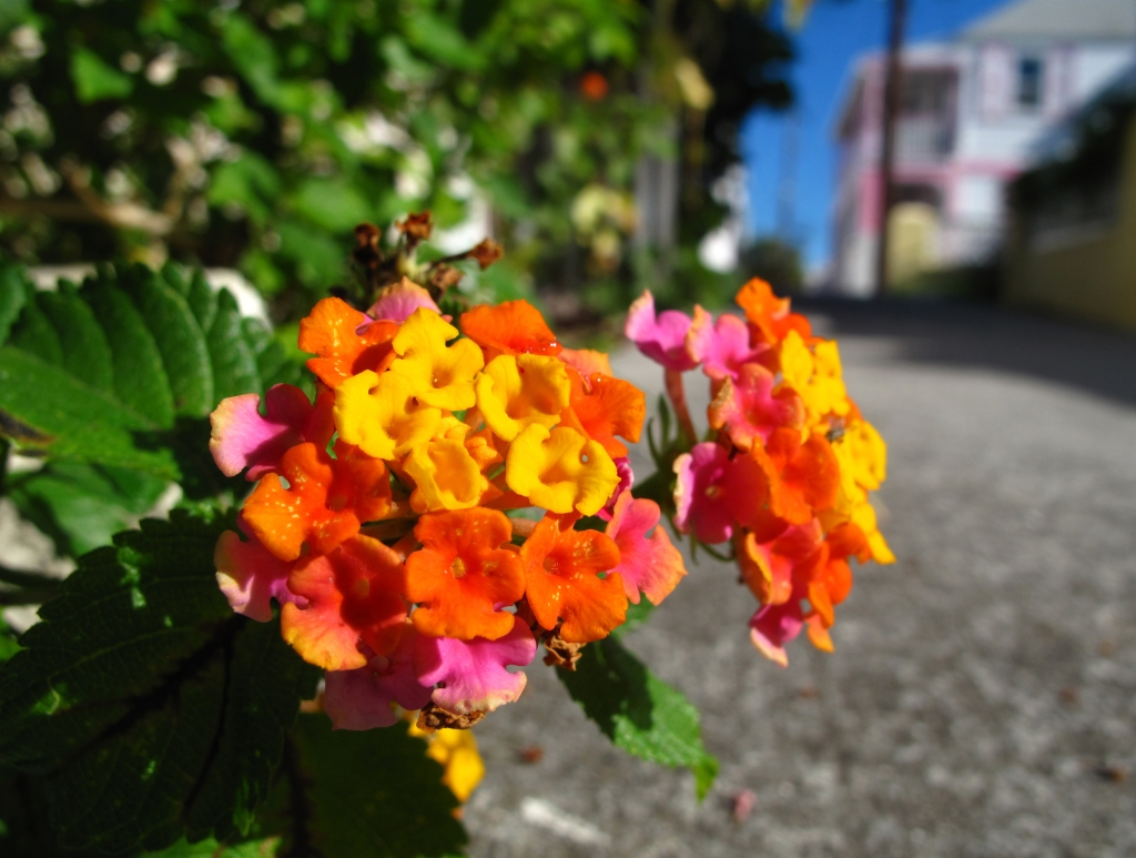 bahamas, abaco, green turtle cay, new plymouth, tropical flower, street scene, amanda diedrick