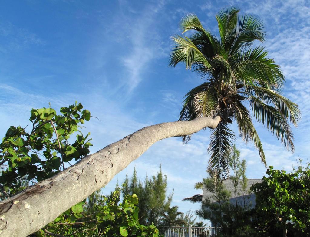 abaco, bahamas, green turtle cay, palm tree,
