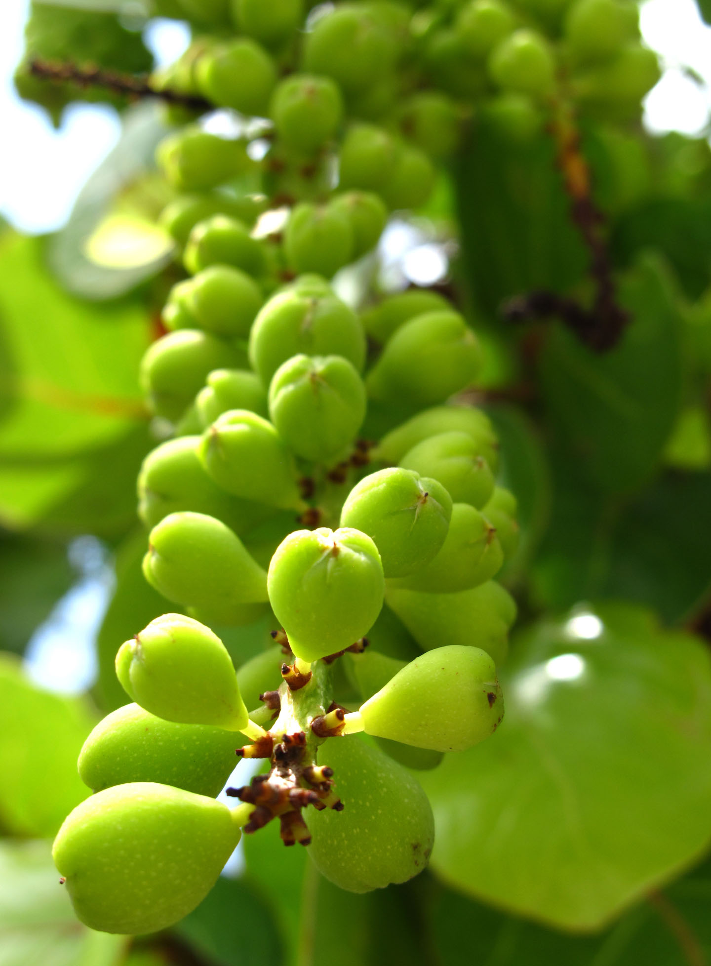 sea grape, bahamas, abaco, green turtle cay
