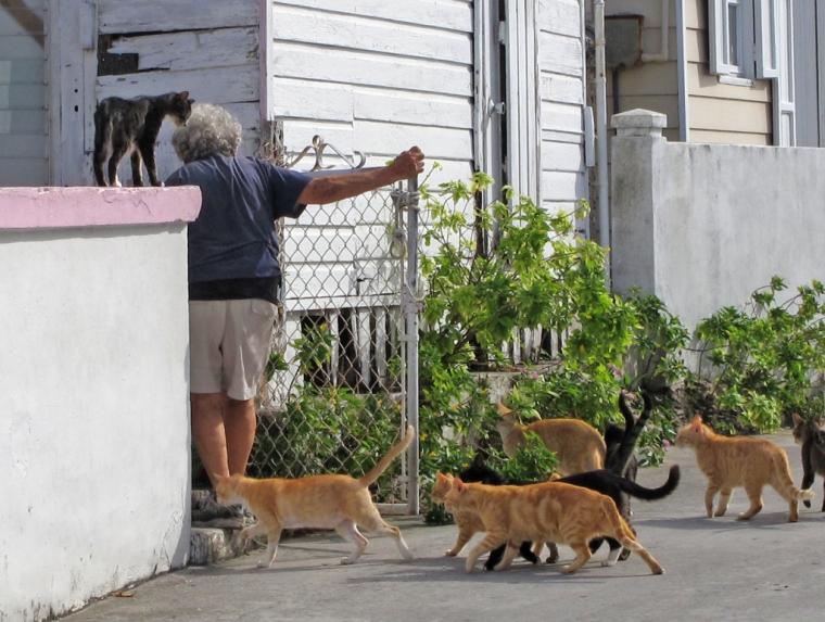 bahamas, abaco, green turtle cay, potcats, stray cats