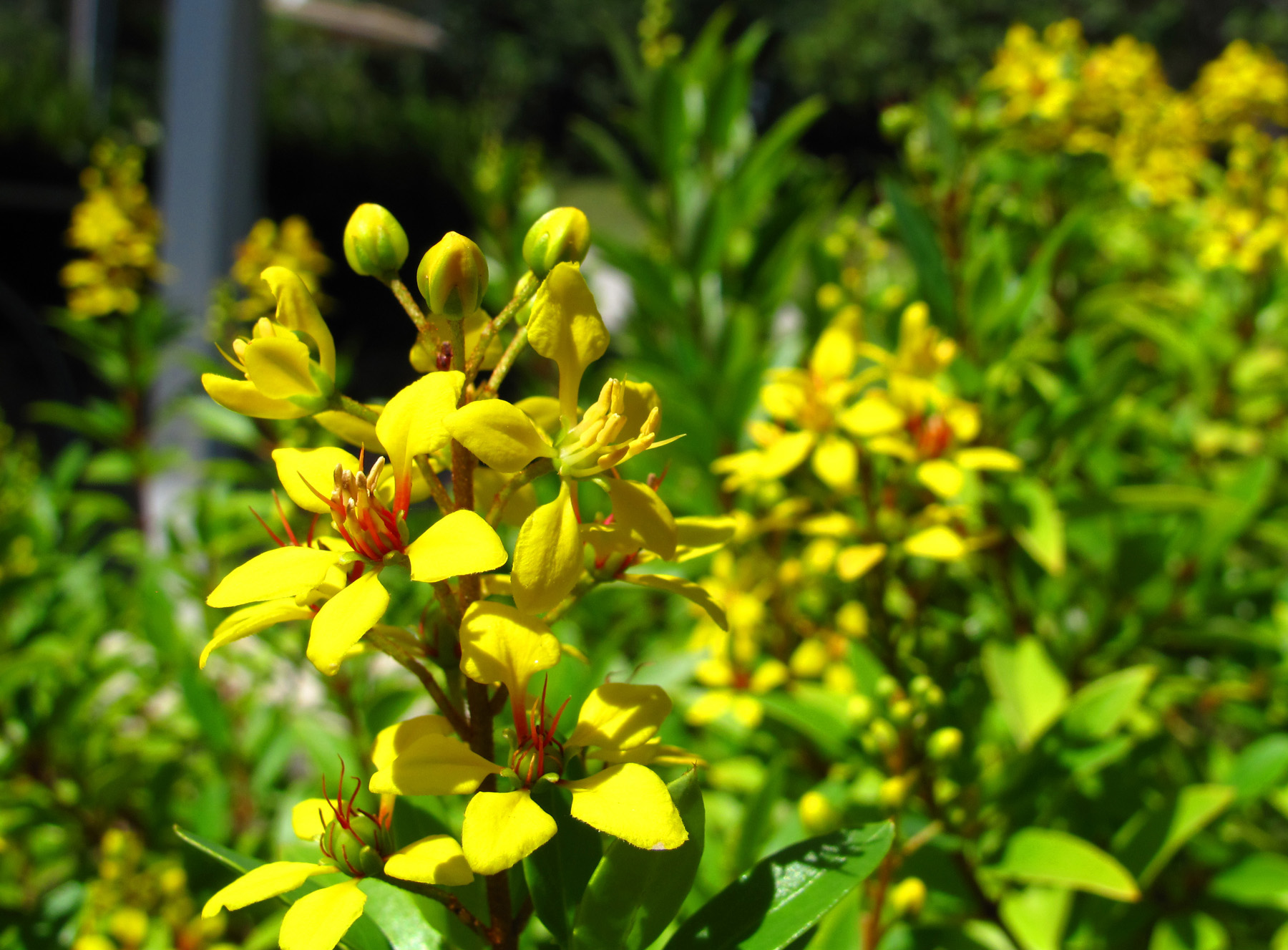 bahamas, abaco, green turtle cay, tropical flowers
