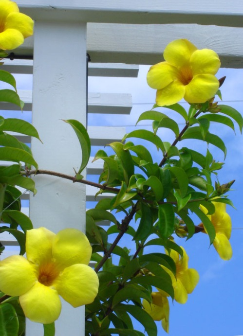 bahamas, abaco, green turtle cay, yellow allamanda, tropical flower, travel