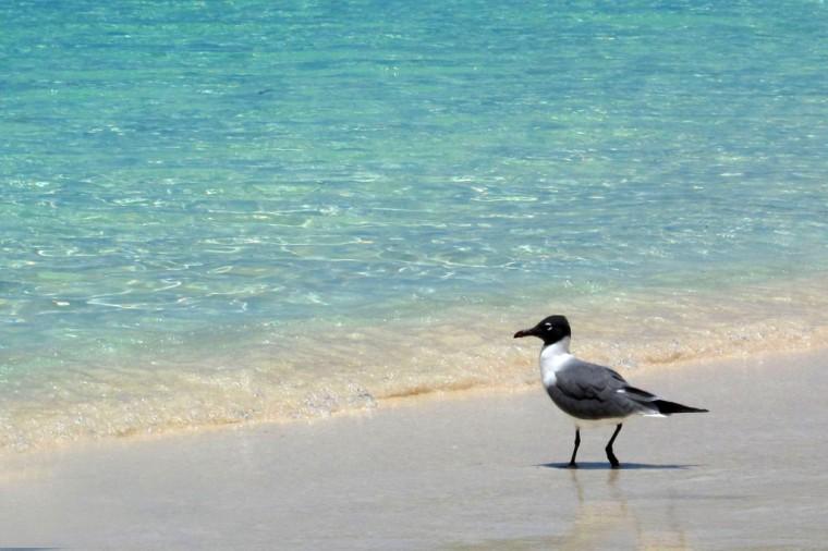 bahamas, abaco, green turtle cay, seagull, travel, photography
