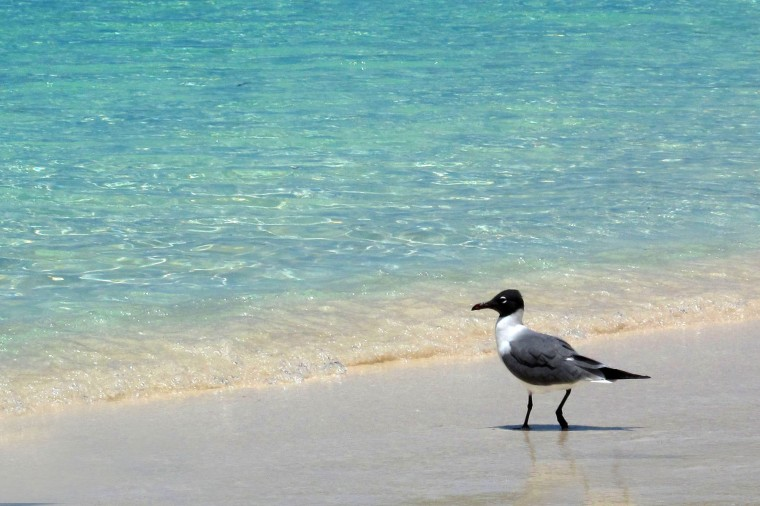 bahamas, abaco, green turtle cay, seagull, travel, photography