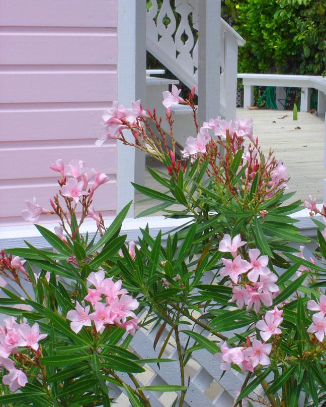 bahamas, abaco, hope town, oleander