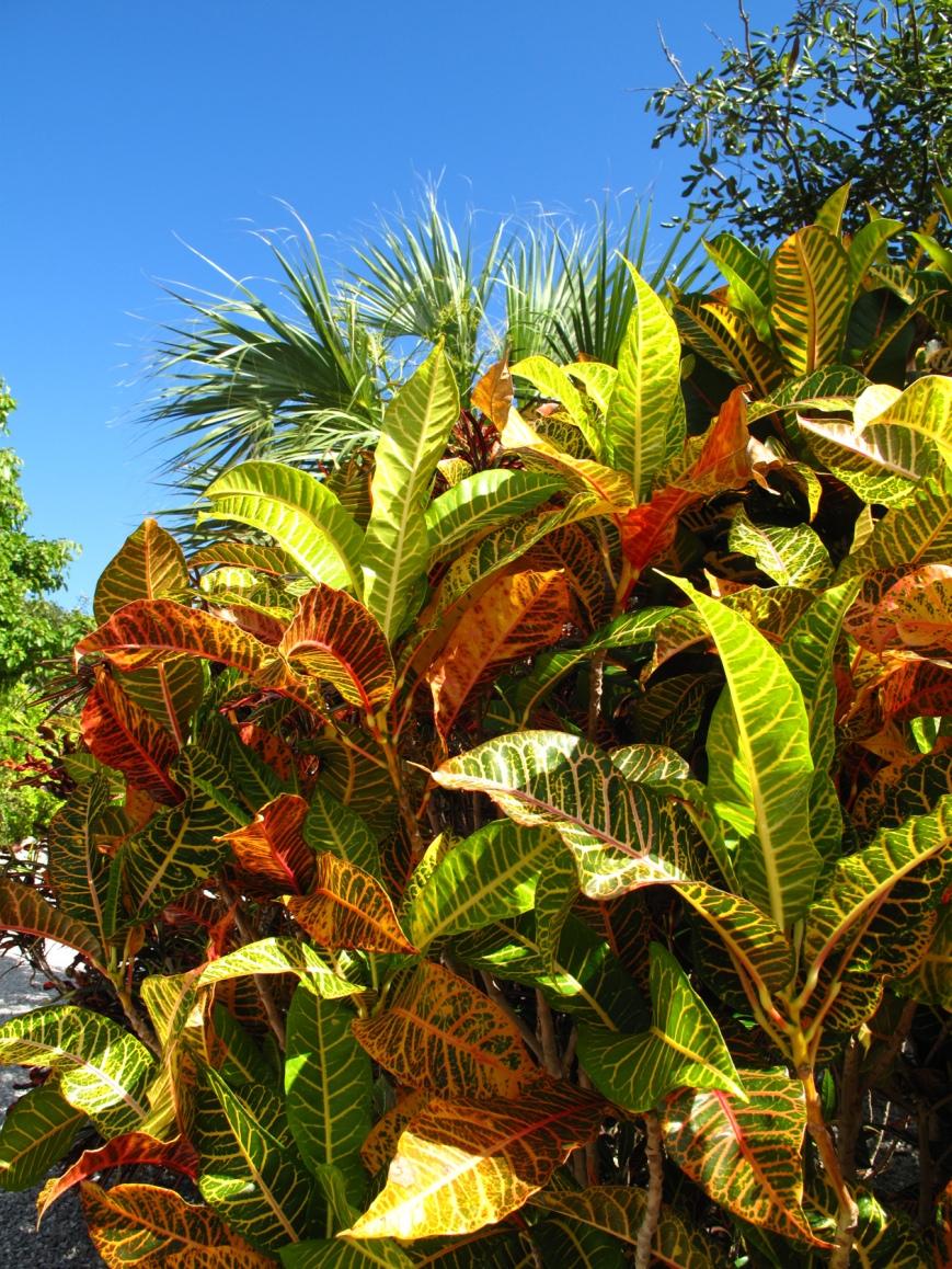 Croton Bushes, Green Turtle Cay, Bahamas