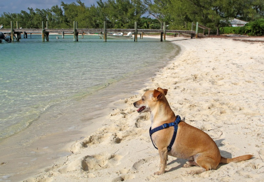 bahamas, abaco, green turtle cay, nassau, dog, travel, distemper