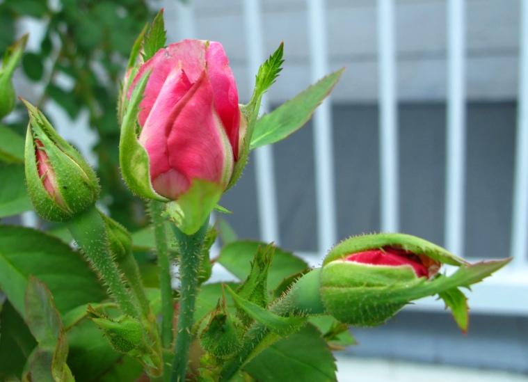 bahamas, abaco, green turtle cay, roses