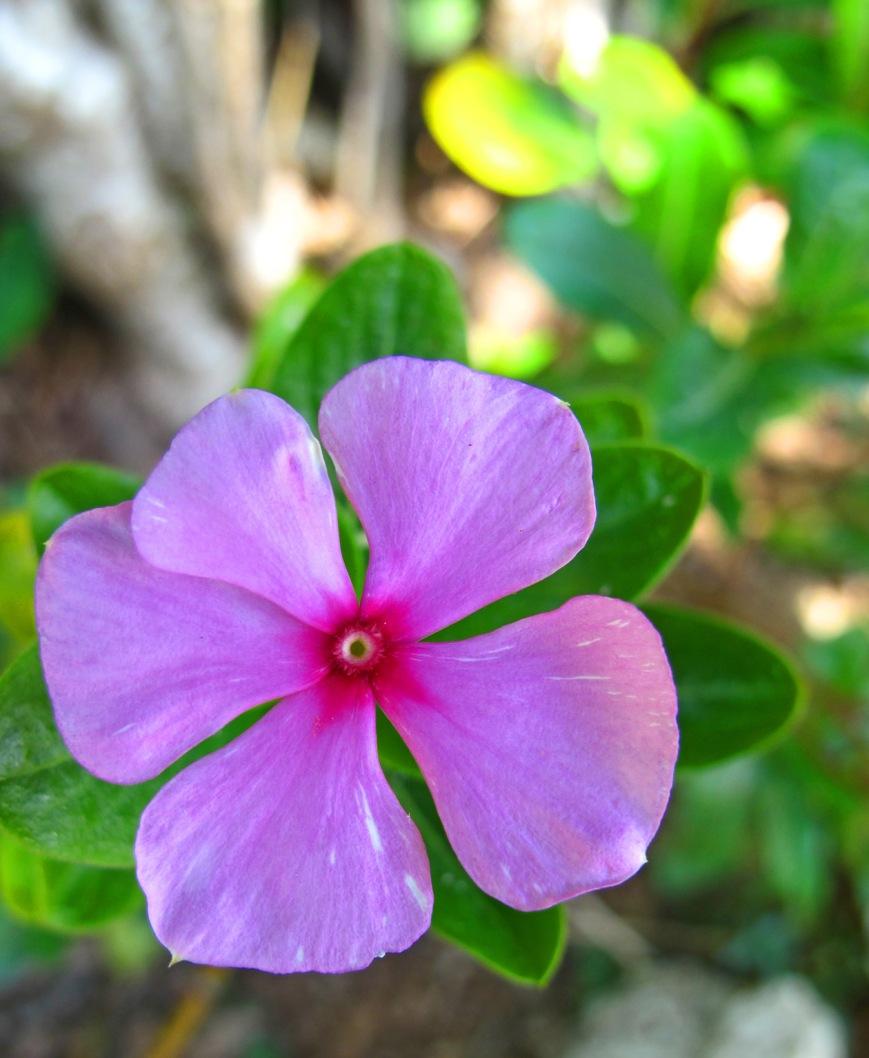 bahamas, abaco, green turtle cay, tropical flower, sailor cap