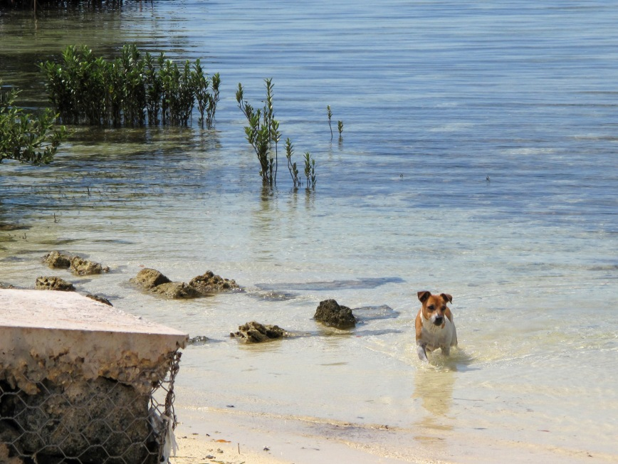 bahamas, abaco, green turtle cay, jack russell, ranger, beach