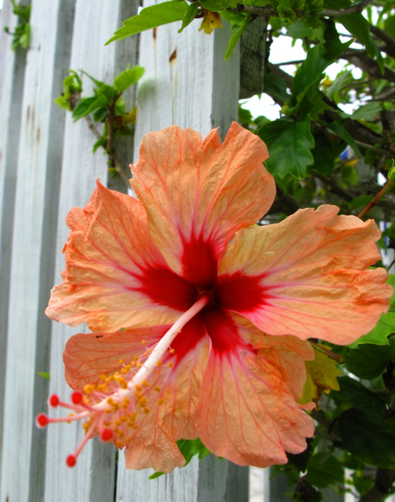 bahamas, abaco, green turtle cay, hibiscus, tropical flower