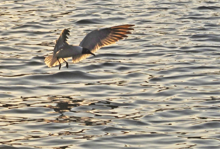 Seagull at Sunset, Green Turtle Cay, Abaco, Bahamas