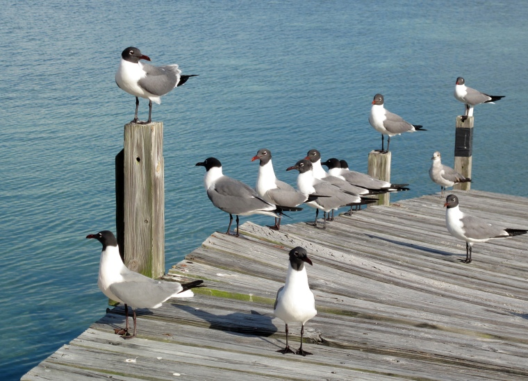 Sea Gulls at the South Beach - Green Turtle Cay
