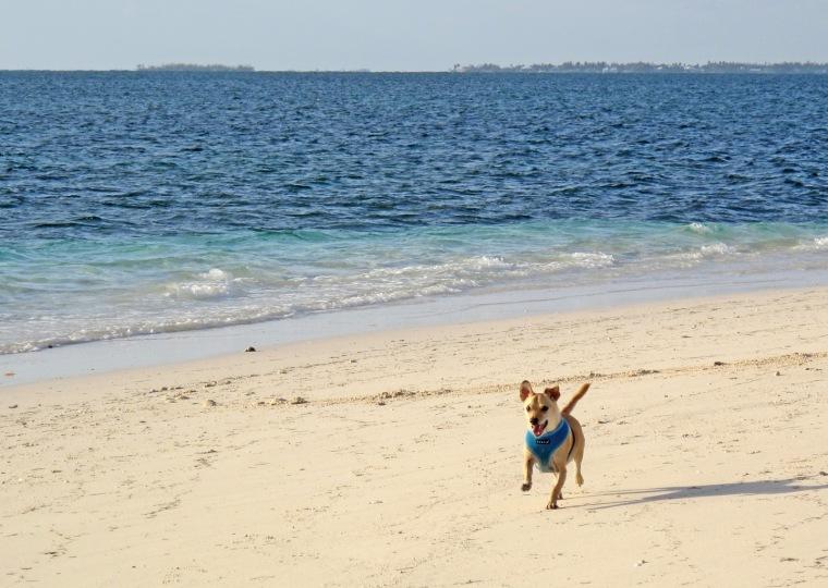 bahamas, abaco, green turtle cay, dog, beach
