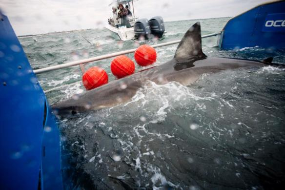 lydia, bahamas, great white, shark