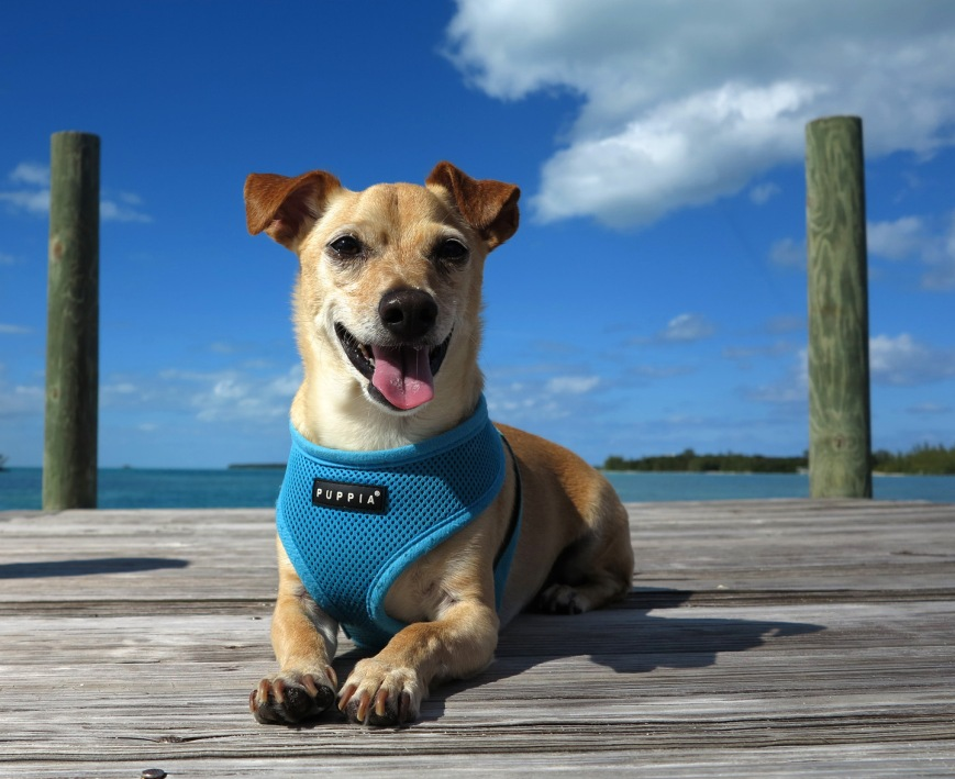 bahamas, abaco, green turtle cay, travel with dog, wrigley