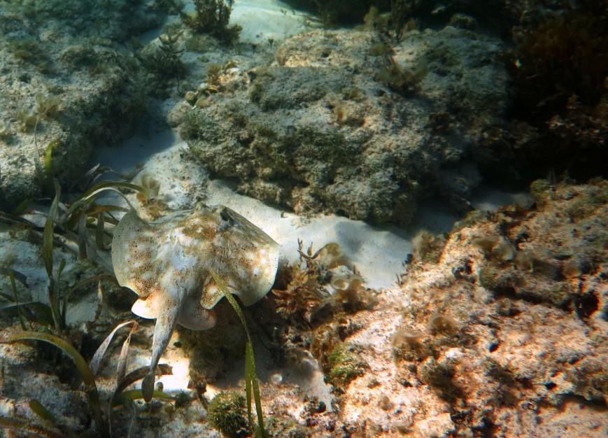Young stingray at the reef at Bita Bay - Green Turtle Cay, Abaco, Bahamas.