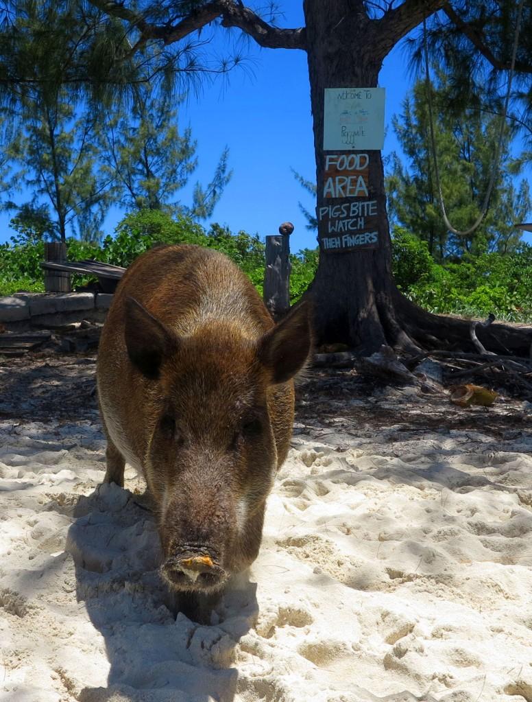 bahamas, abaco, green turtle cay, no name cay, pig