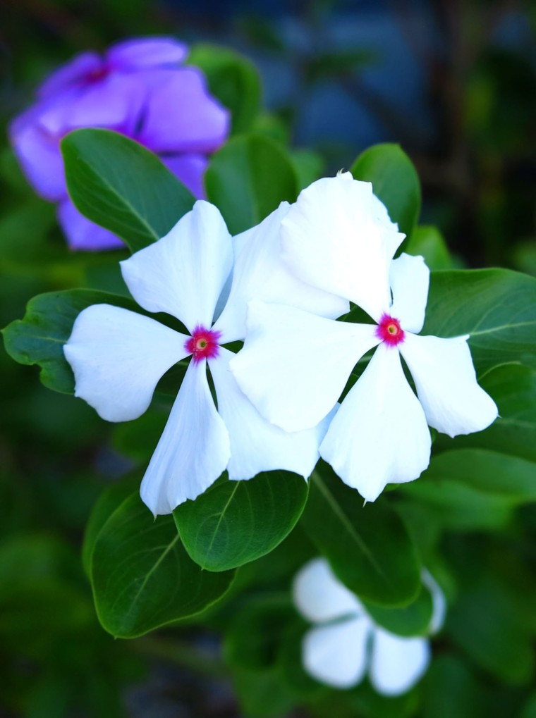 bahamas, abaco, green turtle cay, flower