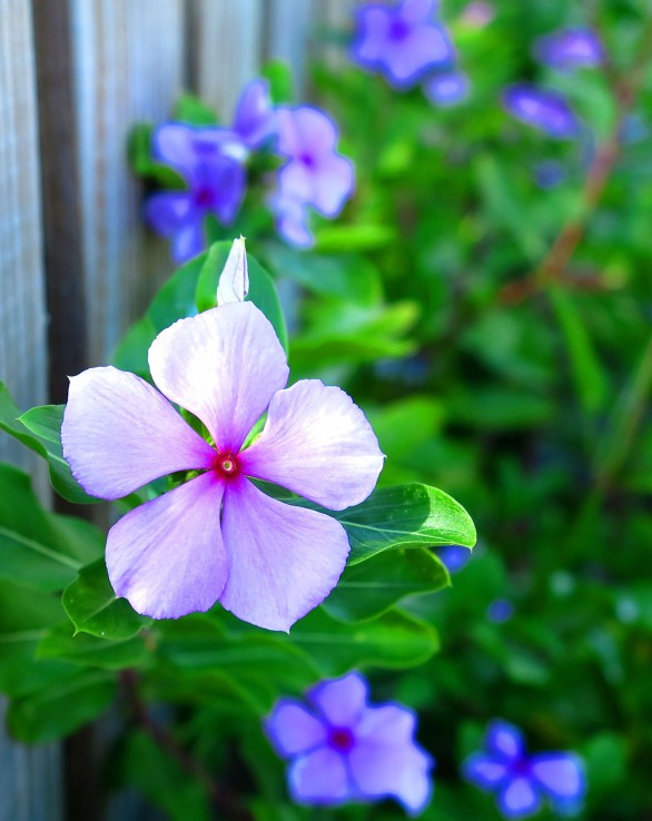 Periwinkle flowers - Green Turtle Cay