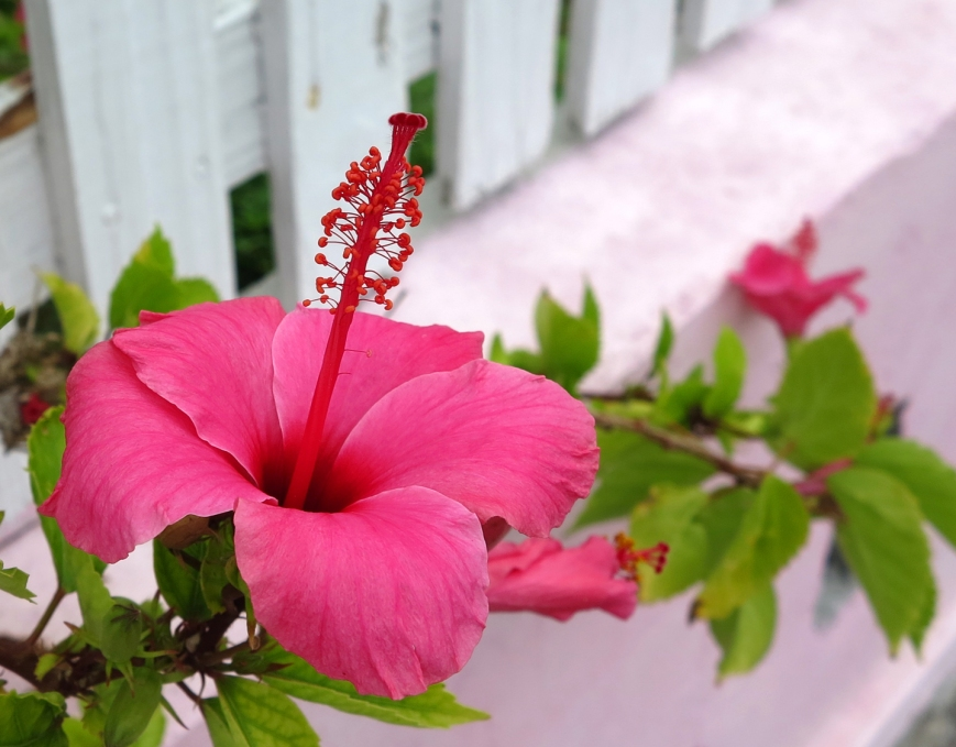 bahamas, abaco, green turtle cay, hibiscus