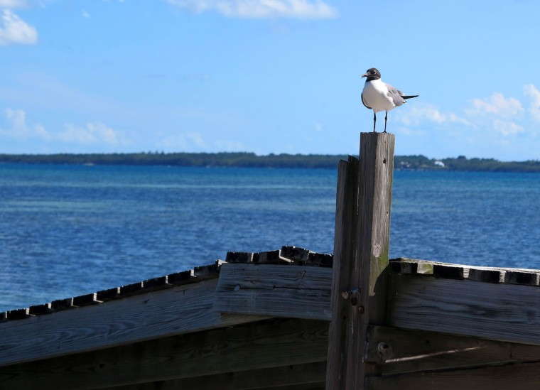 Seagull on the Dock - Green Turtle Cay, Abaco, Bahamas.
