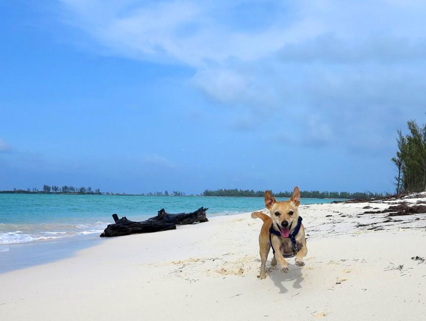 bahamas, abaco, green turtle cay, dog