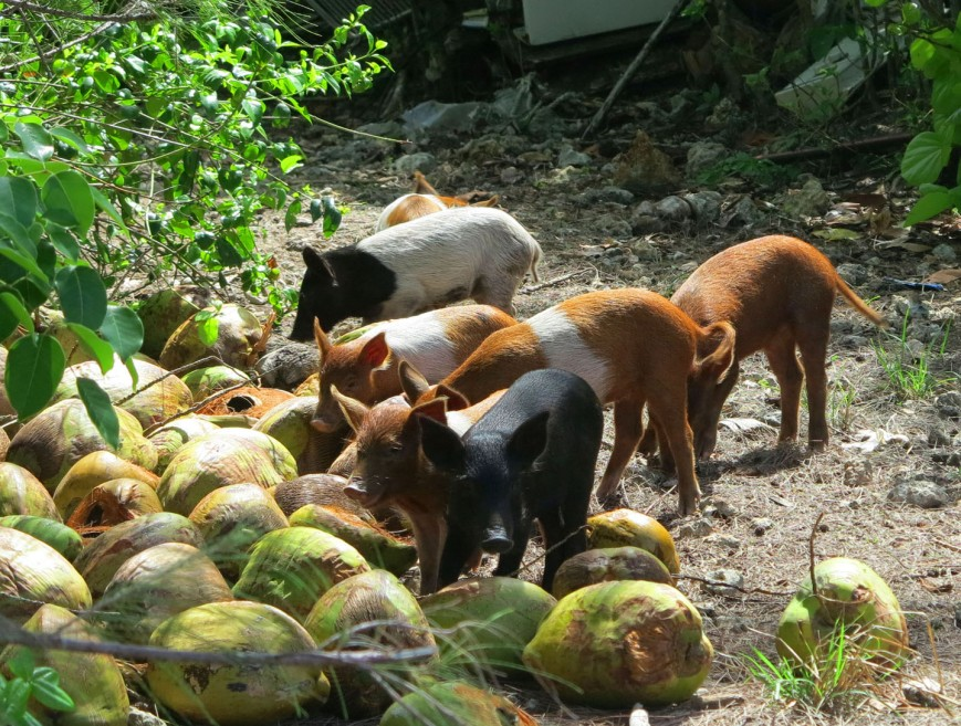 bahamas, abaco, green turtle cay, pig