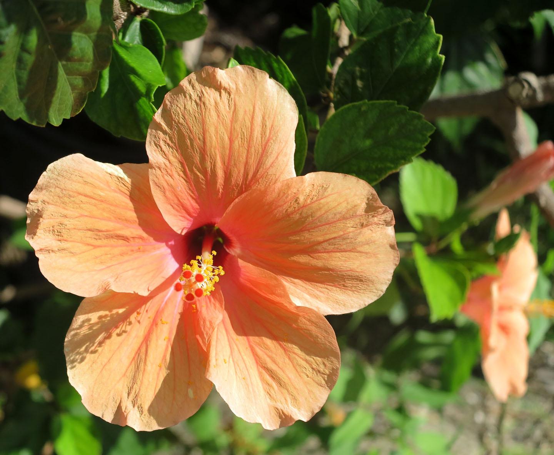 Orange hibiscus, Green Turtle Cay, Bahamas