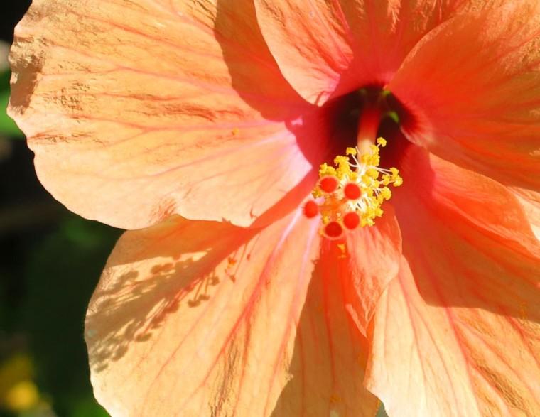 bahamas, hibiscus, abaco, green turtle cay