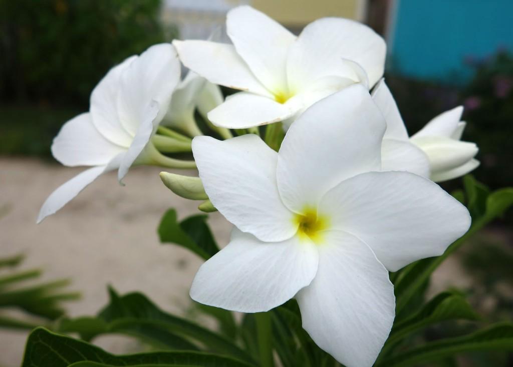 bahamas, abaco, green turtle cay, frangipani, plumeria