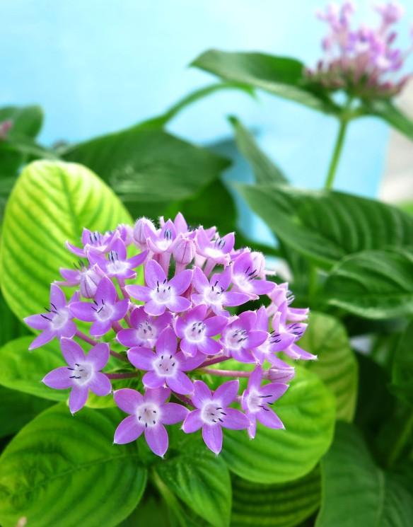 Purple flowers, Green Turtle Cay, Abaco, Bahamas.