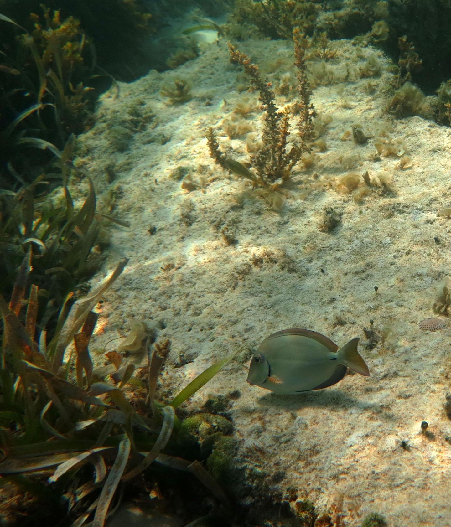 bahamas, abaco, green turtle cay, snorkeling, fish