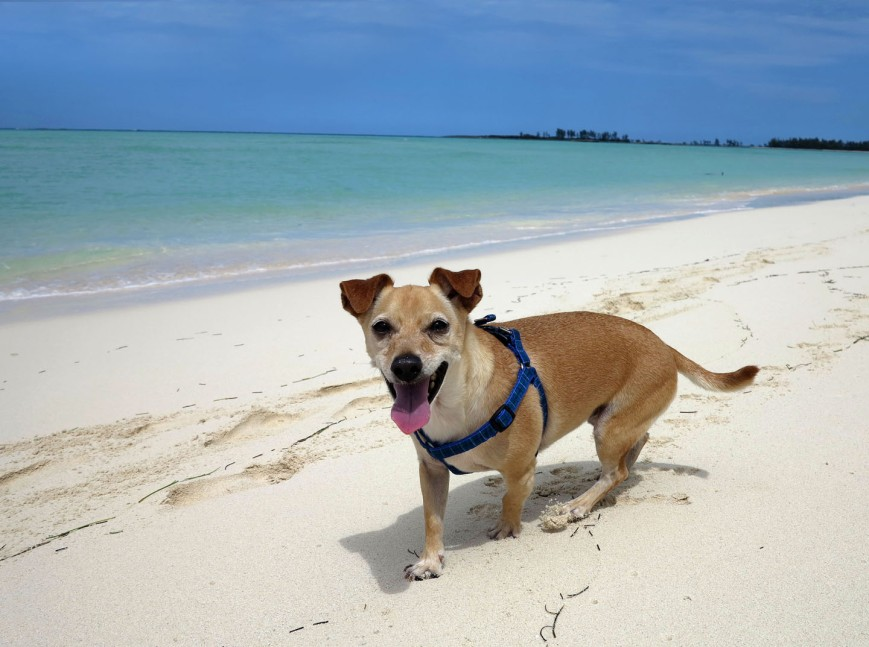 bahamas, abaco, green turtle cay, dog, beach, travel with pet