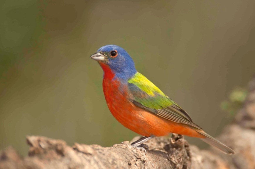 painted-bunting-male-bahama-palm-shores-abaco-bahamas-crp-3-12-tom-sheley-copy2